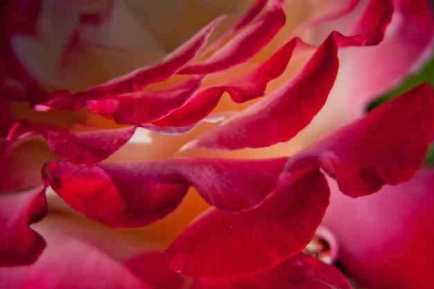 Rose variegated edge low res