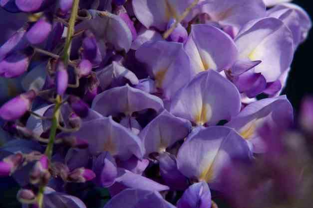 Wisteria buds and blooms low res