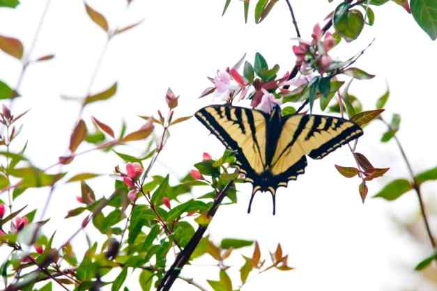 Butterfly Swallowtail 2 low res