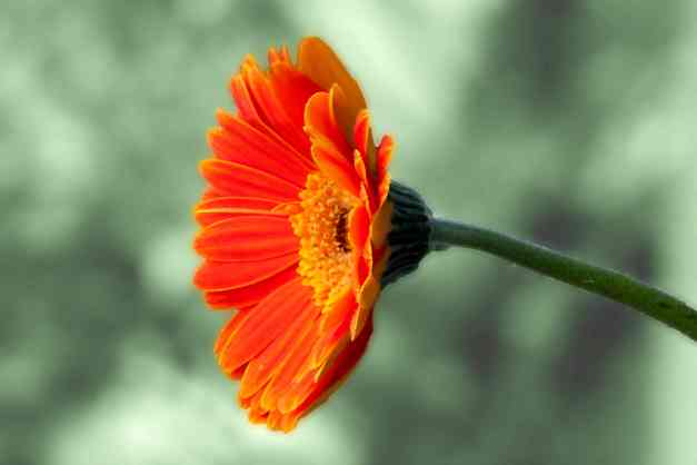 Gerbera Orange on G low res