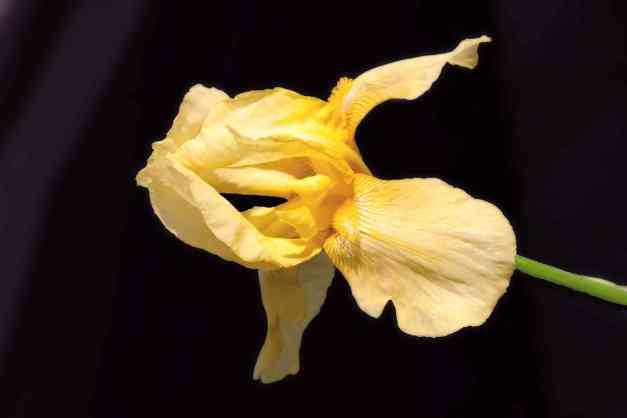 Iris yellow low res