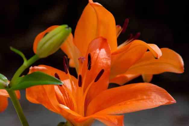 LA lilies 6 low res