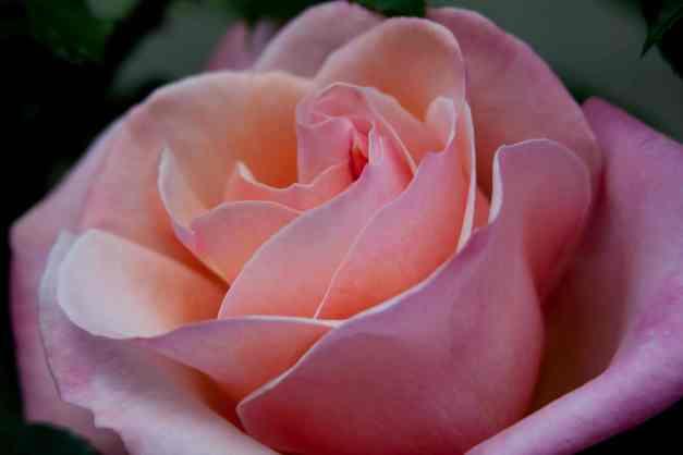 Rose peachy pink low res