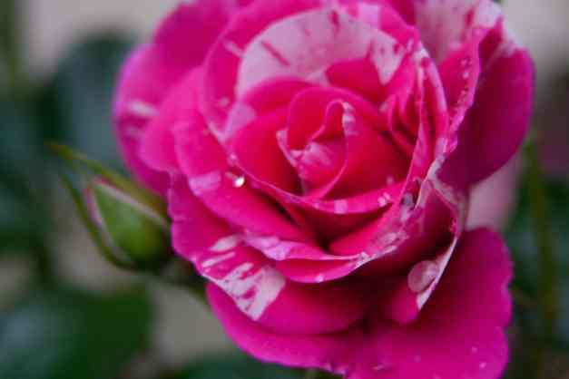 Rose vari 2 low res