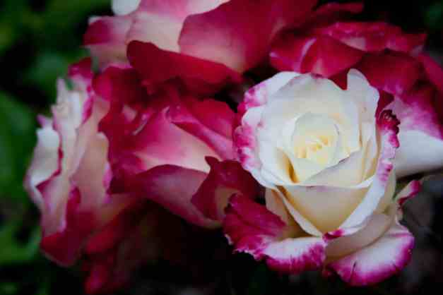 Roses bunch vase 2 low res