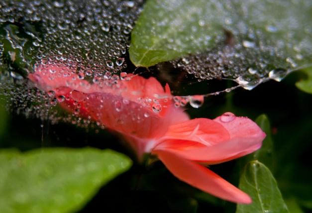 Geranium web wet