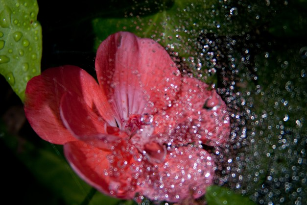 Geranium web wet5