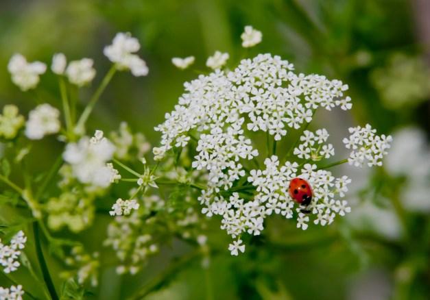 Hemlock ladybird