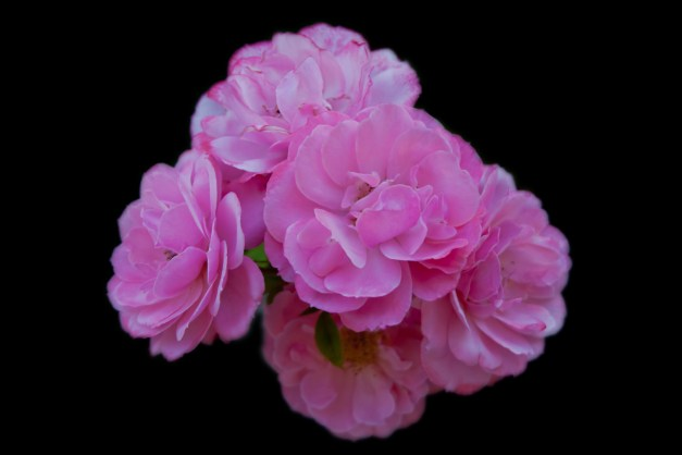 Roses pink 3