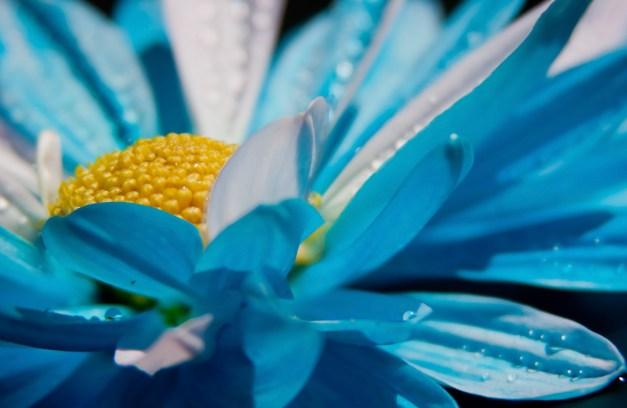 Chrysanthemum blue wet