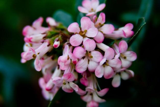 Escallonia pink 4