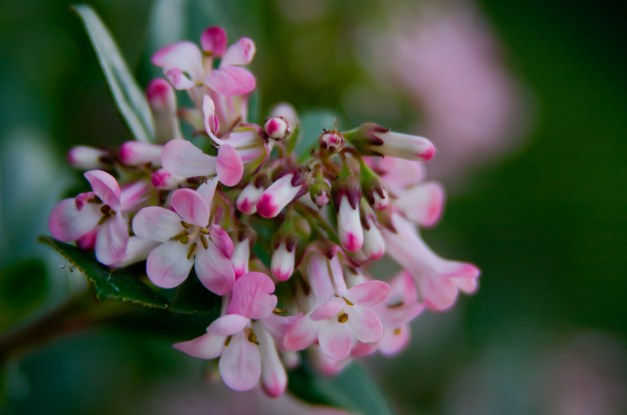 Escallonia pink 5