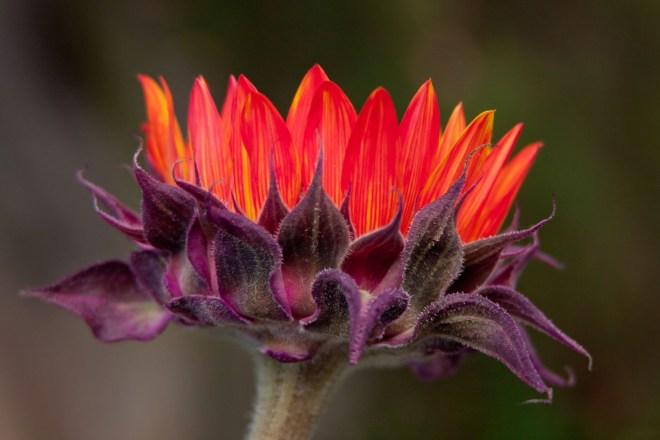 Sunflower orange 2