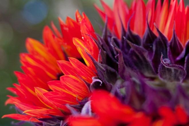 Sunflowers orange
