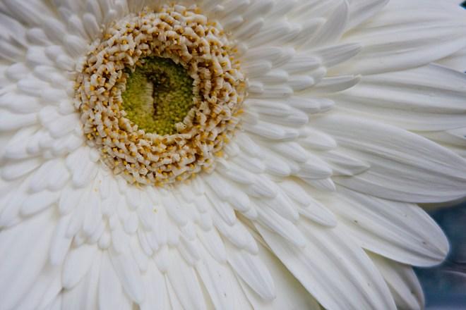 Gerbera white off centre