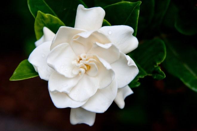 Gardenia sweet