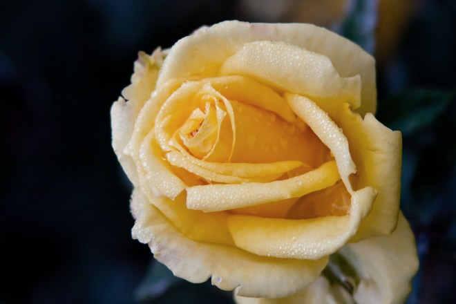 Rose yellow droplets