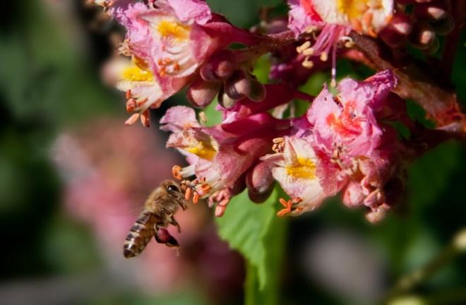 Bee on Horse Chestnurt 2