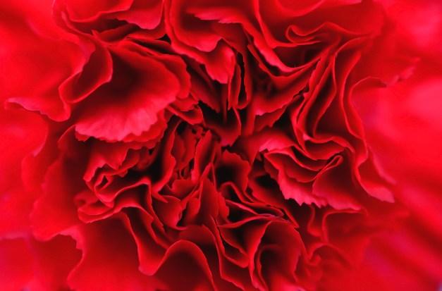Carnation red
