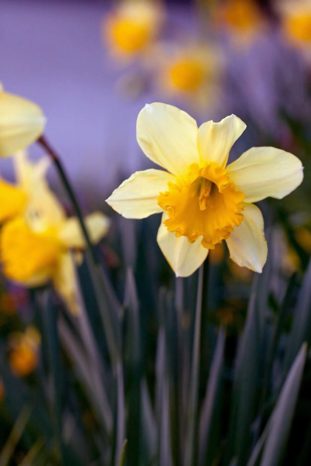 Single daffodil low res