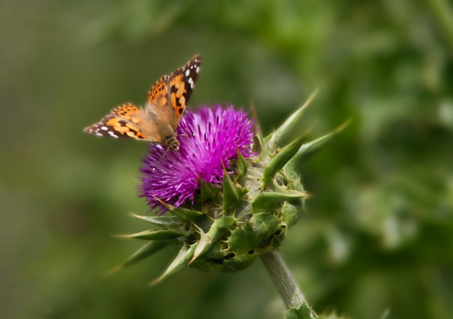 Thistle butterfly 2