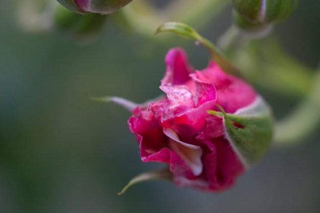 Rose vari 3