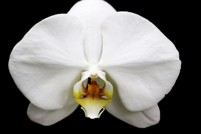 Orchid white 409