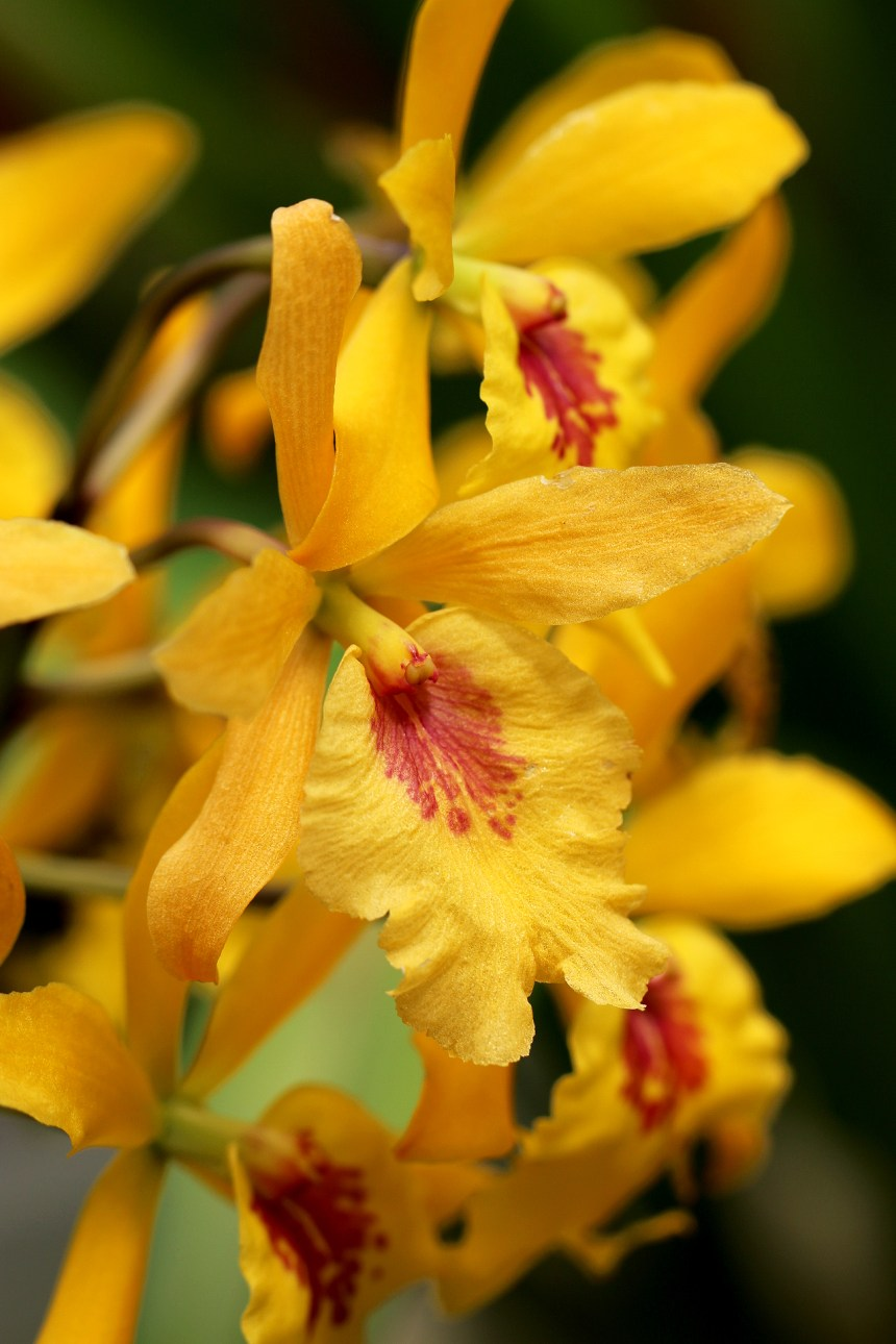 Orchid Yellow 042
