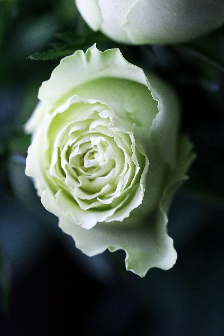 rose whitegreen