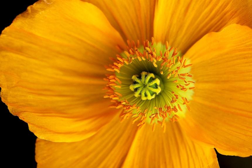 Poppy yellow central