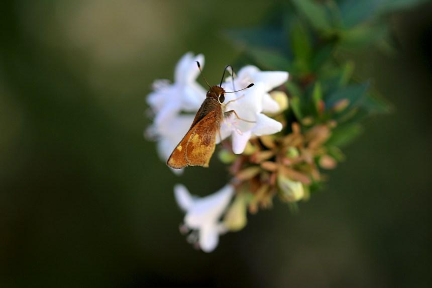 butterfly-on-grandiflora-3