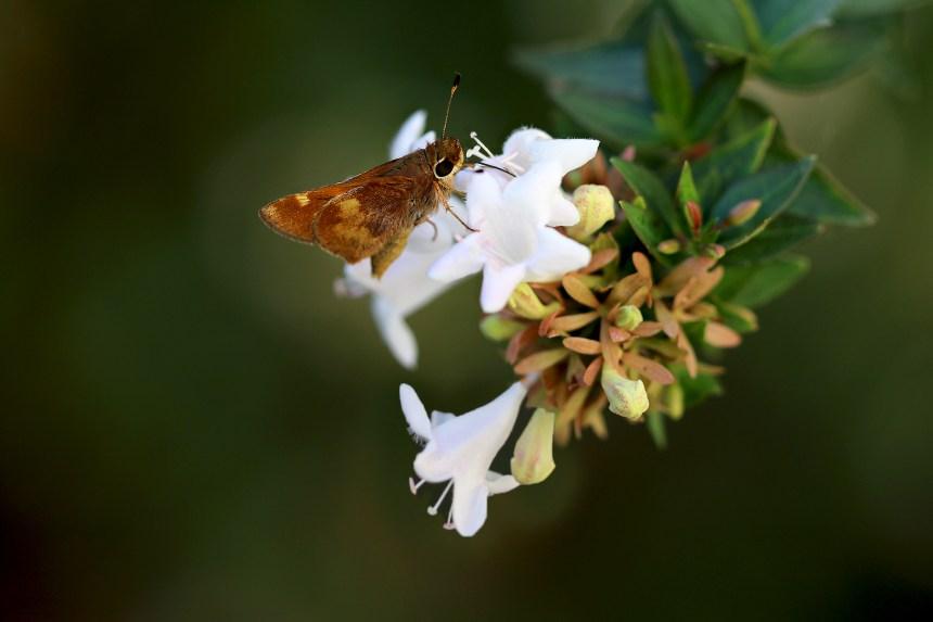 butterfly-on-grandiflora