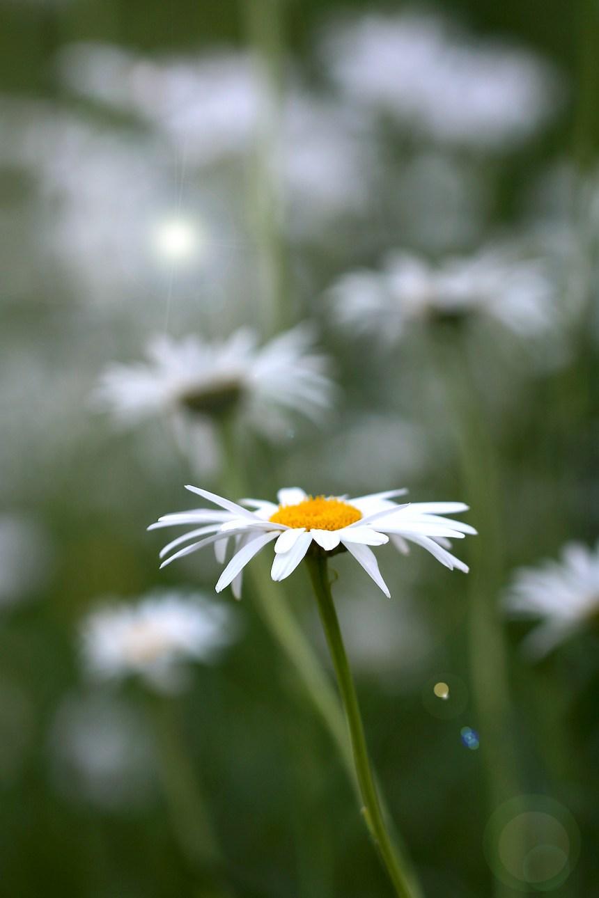 daisy-in-field
