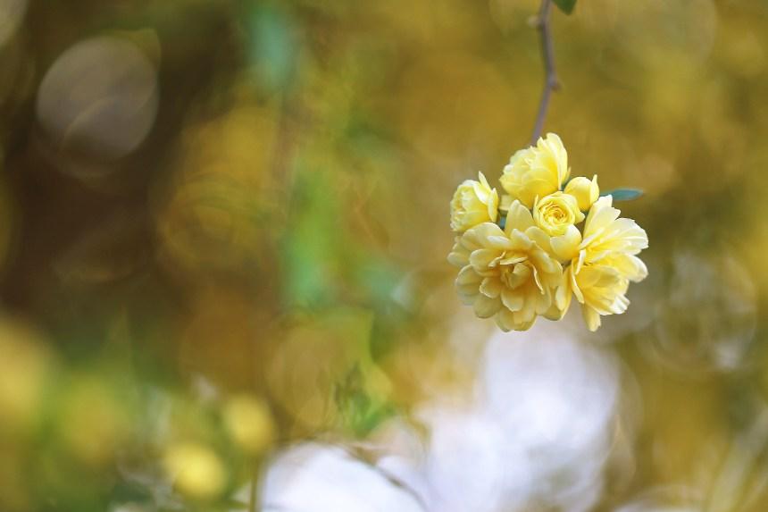 Rose mini yellow