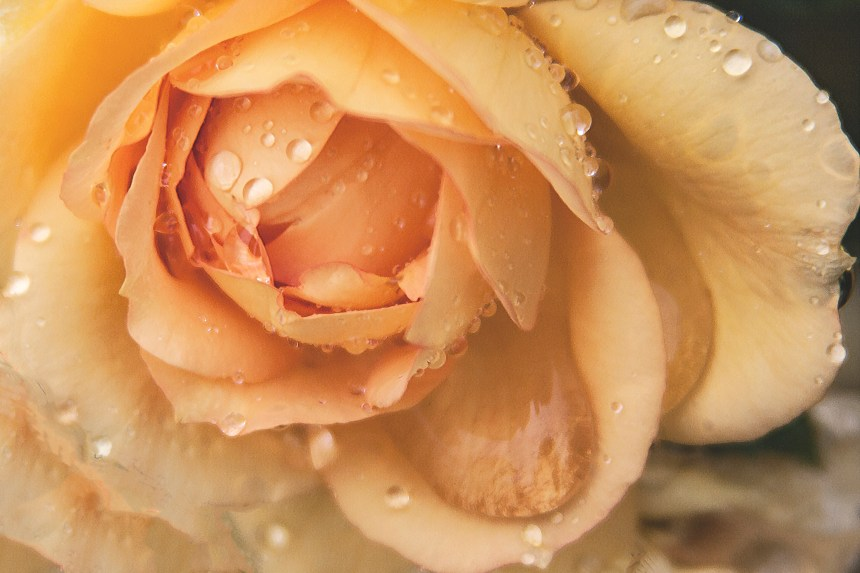 Rose yellow wet close up