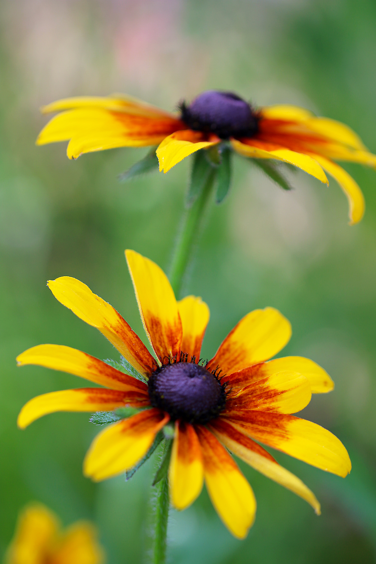 Black Eyed Susan Season Fables And Flora