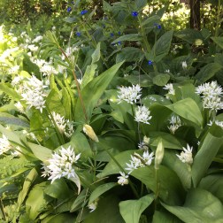 Wild Garlic 5