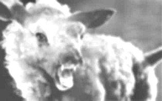 killer sheep