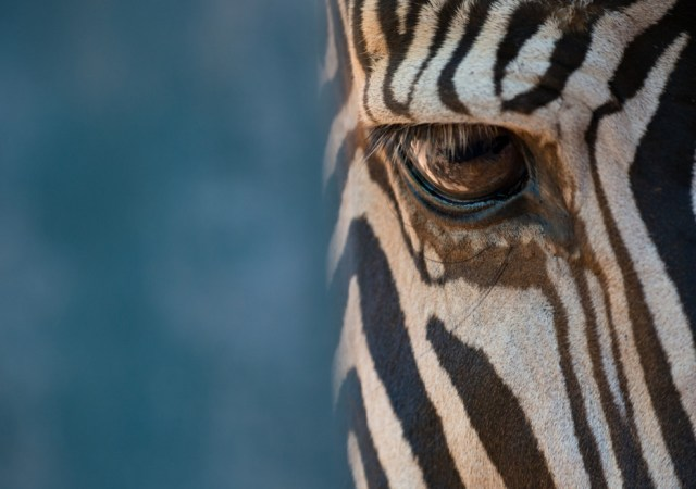Close Up Of Right Eye Of Grevy Zebra