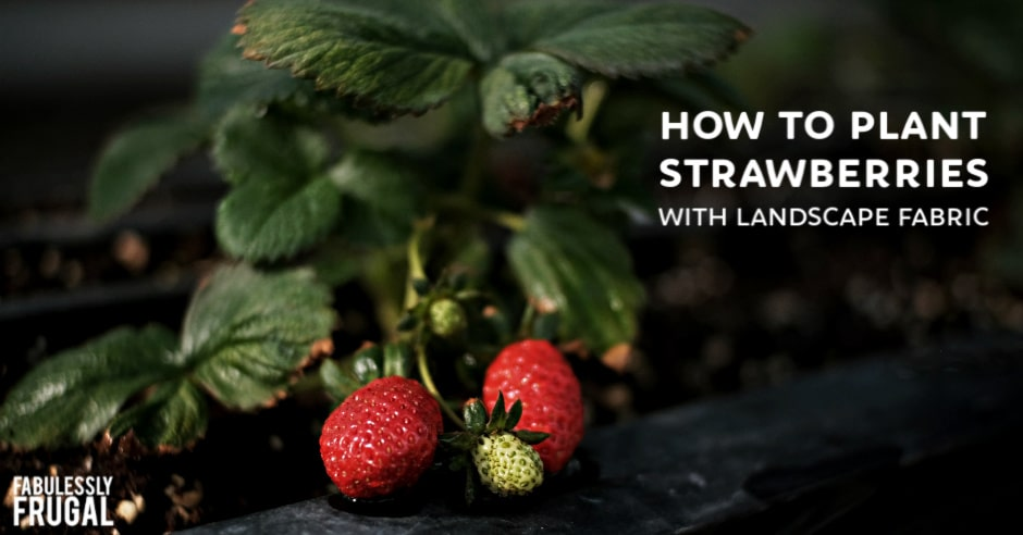 Planting a strawberry patch