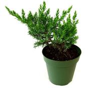 Amazon: 3-Pack Bonsai Starter Plant $18.99 (Reg. $23.11)