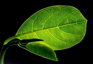 leaf, leaves, jack fruit leaf