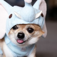 Adorable Costume Clad Chihuahuas