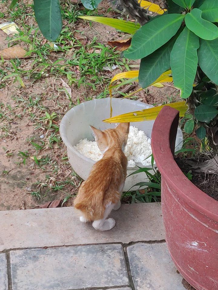Gatti, gatti cambogiani, gatti cambogia, coda mozza gatto, gatto coda mozzata, gatti cambogia coda, coda mozza cambogia, coda mozzata cambogia