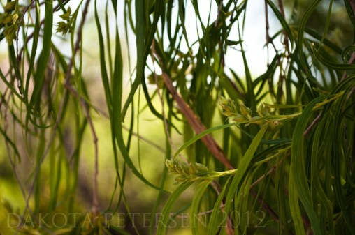 Willow Fronds