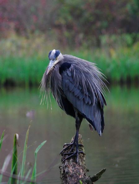 Blue Heron in Park