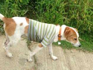 Styling dog out for a walk in his new shirt.