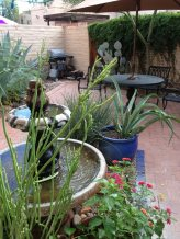 the backyard now 12 years under my care delights me enormously. it finally became the lush desert jungle I've always wanted