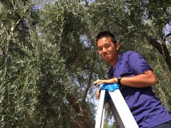 Picking olives at Norm's house