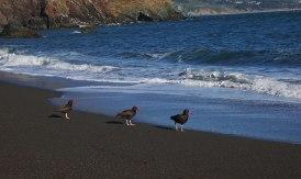 Black oyster catchers at Black Sands Beach in Marin Headlands